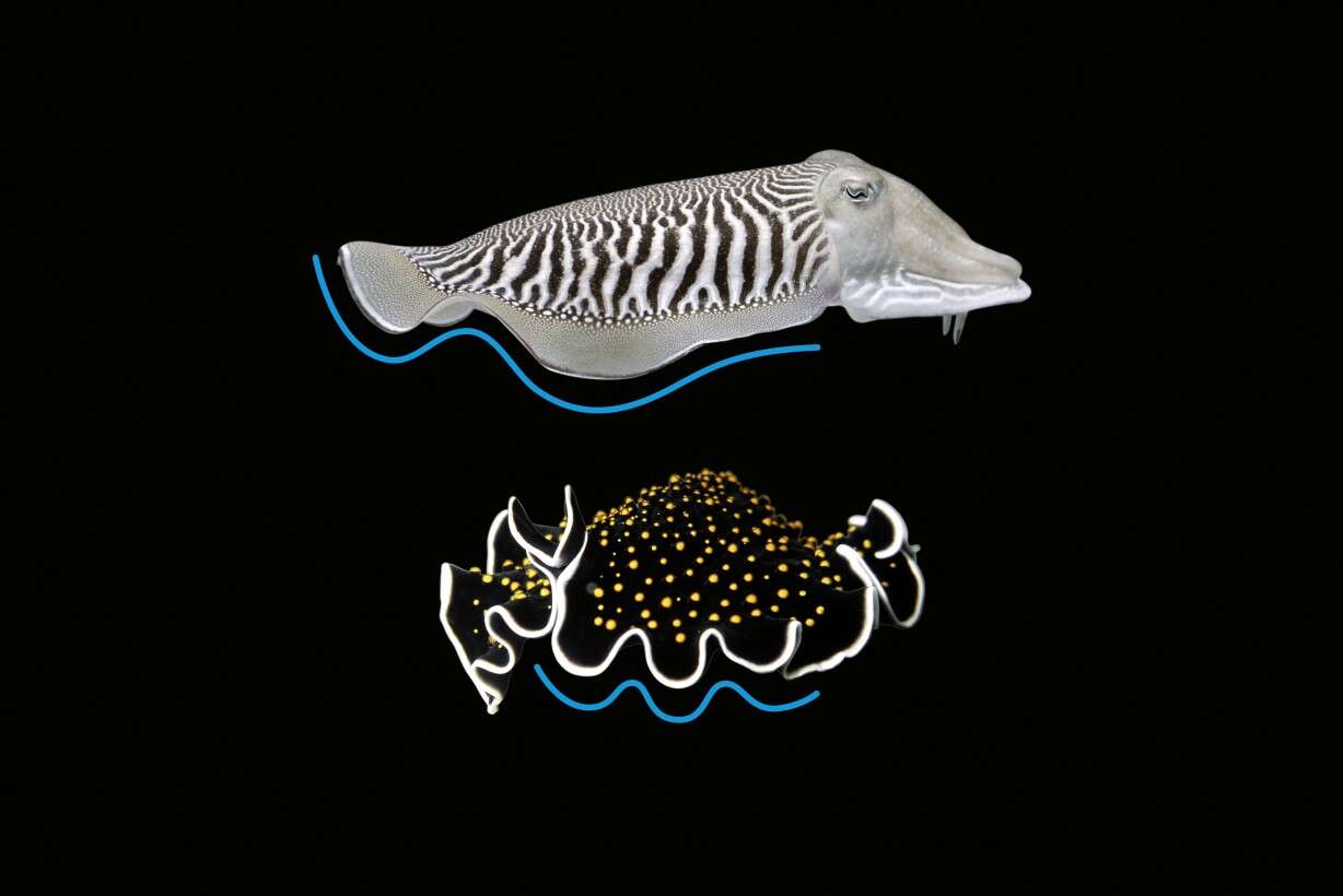 Natural role models: the undulating fin movement on the cuttlefish and wild marine flatworm